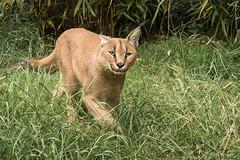 Big Cat-4890 (Parapan) Tags: bigcats caracal