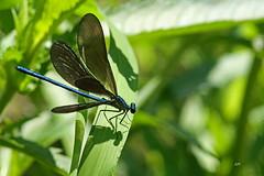 Caloptéryx bistré (M) / Ebony Jewelwing (M) (alain.maire) Tags: odonata odonate damselfly demoiselle calopterygidae calopteryxmaculata caloptéryxbistré ebonyjewelwing nature quebec canada