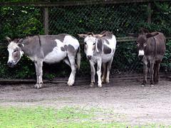 Donkeys in the rain (robárt shake) Tags: esel donkey bürgerpark townpark bremen animal nature tierpark tiergehege tierfarm farm ländlich dörflich gehege outdoor