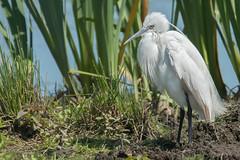 White (Andrew_Leggett) Tags: littleegret egrettagarzetta white glowing bright plumage bird nature heron wild wildlife