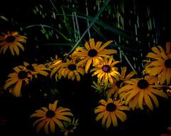 One Sunny Daisy. (Omygodtom) Tags: scenery scene abstract artist sunlight sunshine diamond dof d7100 flower flickr digital texture tamron90mm tamron nikkor nature garden plant nikon outside