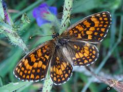 Águas Frias (Chaves) - ... borboleta ... (Mário Silva) Tags: aldeia águasfrias chaves portugal ilustrarportugal madeinportugal lumbudus máriosilva agosto 2017 verão borboleta