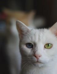 Charlie with Otis bokeh (rootcrop54) Tags: charlie white allwhite male heterochromia oddeyed oddeyes blue yellow green neko macska kedi 猫 kočka kissa γάτα köttur kucing gatto 고양이 kaķis katė katt katze katzen kot кошка mačka maček kitteh chat ネコ