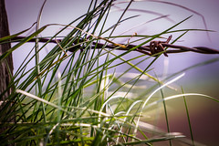 Keine Grenzen - No borders (Köömbroder) Tags: sonyalpha6000 sel55210 gras stacheldraht barbed wire bokeh schleswigholstein