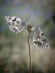 Lucha de poder (gatomotero) Tags: olympusomdem1 mzuiko60 nature mariposa butterfly melanargia blancoynegro macrofield ambiente tierradelpan zamora