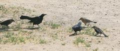 Great-tailed Grackles (Quiscalus mexicanus); Tucson, AZ, Chistopher Columbus Park, [Lou Feltz] (deserttoad) Tags: bird wildbird grackle wildlife nature arizona fauna water park tree reflection behavior