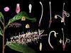 Proteaceae Helicia formosana (taiwanicus) Tags: 兩性花 bisexual flower 柱頭 stigma 子房 ovary 雌蕊 pistil 雄蕊 stamen