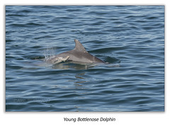 Young Bottlenose Dolphin (Alec Trusler in Oz) Tags: dolphins bottlenose tursiops young mother swimming water sea common nelsonbay portstephens newsouthwales australia alectrusler nikon70200 nikon d500