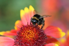 Busy Bee (stellagrimsdale) Tags: bee flower pollen insect orange bumble bumblebee nature stamen