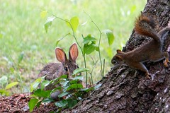 Red Squirrel Watching Rabbit (Anne Ahearne) Tags: red squirrel cottontail rabbit bunny cute animals animal nature wildlife