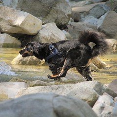 #59 Falling (valentinamattarozzi) Tags: dog happiness water dogportrait falling happy swim