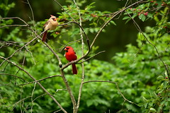 Cardinal Pair (thatSandygirl) Tags: outdoor ohio summer june nature animal wildlife cardinal bird pair male female red green perch