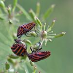 stripy bugs