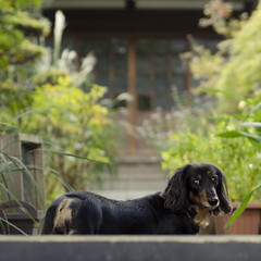 (Pete Rocks) Tags: japan summer 2014 tokyo nikon d7000 50mm dog dachshund sausage