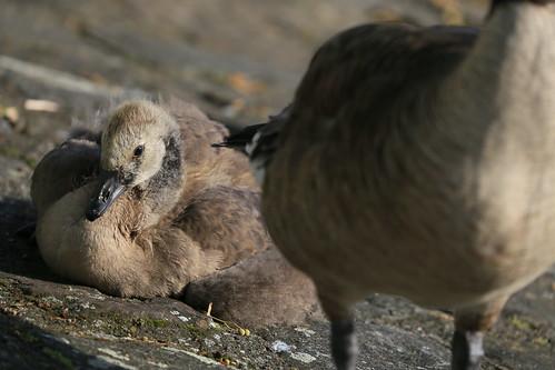 Berlin - Branta canadensis - gosling