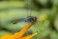 Cannaphila vibex (Hagen, 1861) (PriscillaBurcher) Tags: cannaphilavibexhagen1861 cannaphilavibex cannaphila dragonfly narrowwingedskimmers odonata libélula libellulidae laceja colombia priscillaburcher l1350538 skimmer