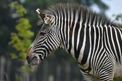 Zebra (JerryGoulet) Tags: animals animal nikon nikonflickraward natureanythinggoes zebra woburnsafaripark wildlife safari lines mammals