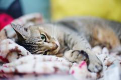 Bill the girl (Steve only) Tags: sony α7 a7 alpha7 ilce7 cosina voigtlander cv nokton 50mm f11 5011 bill cats
