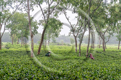 Women picks tea leafs on the tea garden (www.sohelparvezhaque.com) Tags: bangladesh drink mountain asia blue filed garden gather green harvest leaf morning natural pick ruifeng skyline spring summer sunny sylhet tea trail travel tree women