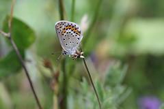 Hed- eller ljungblåvinge 'Plebejus idas/argus' (På upptäcktsfärd i naturen) Tags: blåberga juli fjäril butterfly hedblåvinge ljungblåvinge plebejus plebejusargus plebejusidas äktadagfjärilar papilionoidea juvelvingar lycaenidae polyommatinae polyommatini blåvingar