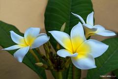 Tres plumarias (moligardf) Tags: flores tropical naturaleza conil luz natural jardín