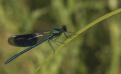 Banded Demoiselle (Ann and Chris) Tags: damselfly nature otmoor insect green shining