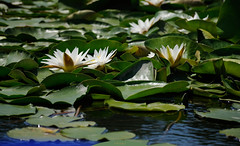 White water lily 4 (Igor Gluhoj (intui.pro)) Tags: river forest water for ukraine outdoor creek serene lake watercourse white lily psel macro flower garden plant green