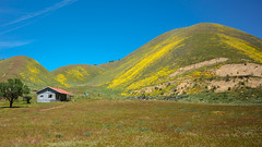 Scenic Homestead (tourtrophy) Tags: wildflowers superbloom homestead ranch carrizoplain hwy58 nikoncoolpixa