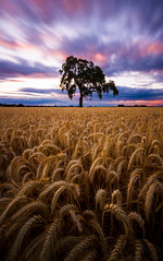 Expect the Unexpected (Chris Delle) Tags: 7d canon landscape wheat tree sunset longexposure ndfilter 10stop