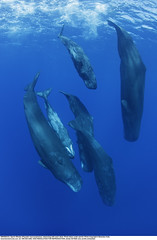 six sperm whales diving together in the Caribbean Sea off Dominica (oceanapacificgis) Tags: spermwhale spermwhales sperm whale whales physetermacrocephalus marinemammal marinemammals cetacean cetaceans toothed dominica caribbeansea brandoncole tropical underwater six group many interaction behavior vertical pod diving