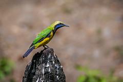 Gold fronted Leafbird (shoothekuruvi) Tags: birds indianbirds leafbird nikon d500 300mm india himalayas wildlife