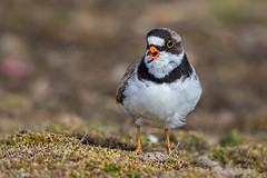 Semipalmated plover (Eric Gofreed) Tags: alaska barrow plover semipalmatedplover