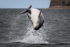The Twist (Ginger Snaps Photography) Tags: wild wildlife dolphin bottlenose nature sea sealife chanonry moray highland scotland leap breach acrobatic