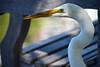 Great egret, Centennial Lakes (schwerdf) Tags: birds centenniallakes edina greategrets minnesota