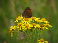 IMG_9313 (germancute) Tags: wildflower nature outdoor blume flower summer sommer wiese