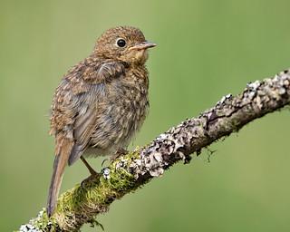 Robin (juvenile)