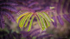 Albizia waking up (dp_dropout) Tags: flower plant light albizia green purple tree silktree mimosa
