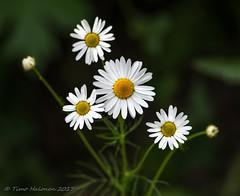 Tripleurospermum maritimum ssp. inodorum (Timo Halonen) Tags: scentlessmayweed peltosaunio tripleurospermummaritimumsspinodorum nikon dx d5200 tokina 100mm flower kukka