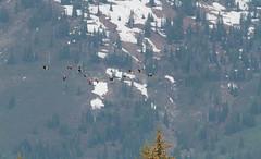 Canada Goose  (Branta canadensis) (TG23-Birding in a Box) Tags: brantacanadensis canadagoose geese goose grandtetonnationalpark wyoming