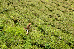 Cameron Highlands Tea estate worker (Theo Crazzolara) Tags: cameron highlands cameronhighlands pahang tee malaysia worker working arbeiter malaysien asien tea estates plateau landscape scenery scenic agriculture