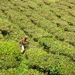 Cameron Highlands Tea estate worker thumbnail