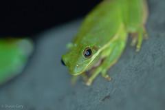 Green Tree Frogs (Hyla cinerea) (Shaun Gary) Tags: frog treefrog green american amphibians animals eastern marsh lake wild water herping herpetology habitat herp hot state south carolina southcarolina