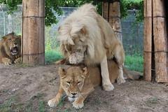 image (しばけんしらはどり) Tags: canon x7 animal safari lion