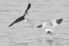 variation volantes en noir et blanc (Bernardvinc) Tags: bird action vol fly noir blanc black white light lumière minimalism nature water nikkor nikon ciel