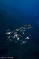 IMG_6049 (davide.clementelli) Tags: scuba underwater underwaterlife diving dive immersione portofino colori colors colore color fishes fish pesci