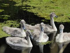 Five cygnets (blue33hibiscus) Tags: bird swan cygnet waterfowl waterbird shapwickheath naturereserve somerset