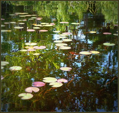 Many-hued lily pads (edenseekr) Tags: waterlilies reflections