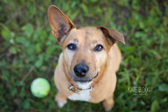 Play ball please! (Kate and Dog Photography) Tags: green terrier dog shallowdepthoffield ball tennisball playfuldog cutie