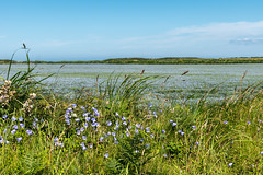 Blue (Peter Quinn1) Tags: flax blue isleofman manx harebells sand coast ayres theayres summer grass grasses