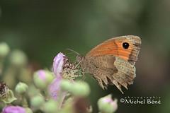 ailes arrières abîmées, cote argus à la baisse (studio gimi) Tags: macro macroinsectes macrounlimited insecte papillon butterfly proxy profondeurdechamp planrapproché grosplan sigma105mm sigma canoneos canon